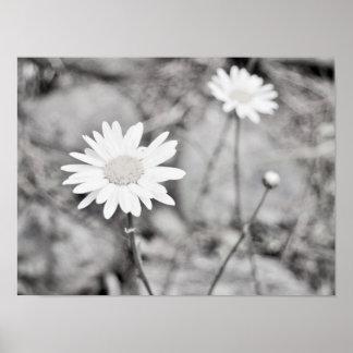 Deux fleurs blanches noires et blanches poster