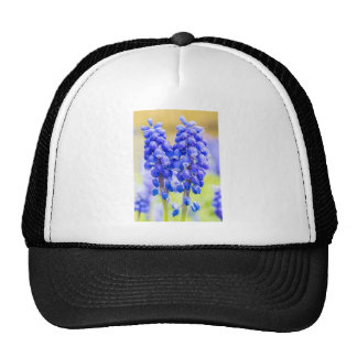 Deux jacinthes de raisin bleues au printemps casquette