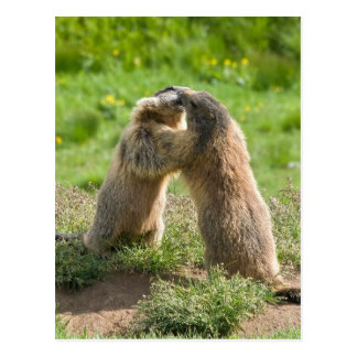 deux jeunes marmottes cartes postales