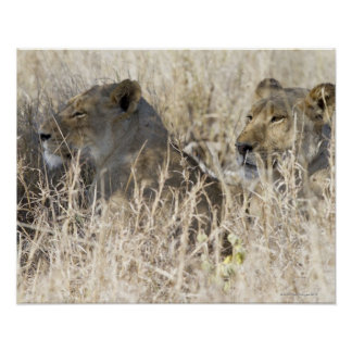 Posters lion couch - Herbe a chat seche ...