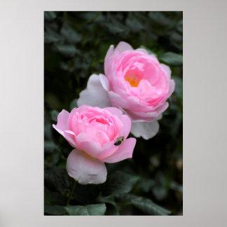 deux roses de buisson fleurissant rose dans le jar
