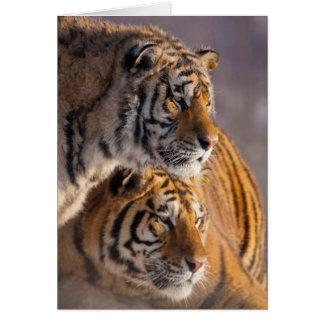 Deux tigres sibériens ensemble, la Chine Carte De Vœux