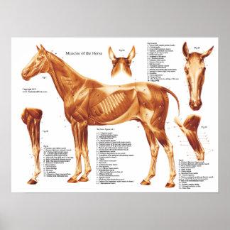 Diagramme d'anatomie de muscle de cheval poster