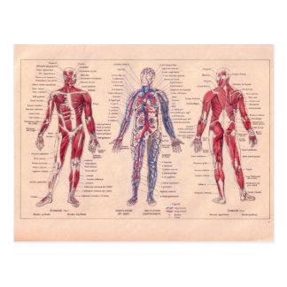 Diagramme français vintage du corps humain cartes postales