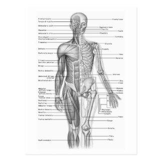 Diagramme humain d'anatomie carte postale