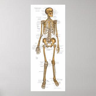 Diagramme squelettique humain 24 x 60 d'anatomie posters