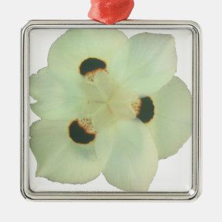 Dietes bicolore - iris africain ornement carré argenté
