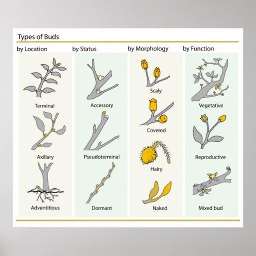 Diff rents types de bourgeons de plante dans le di posters for Type de plante