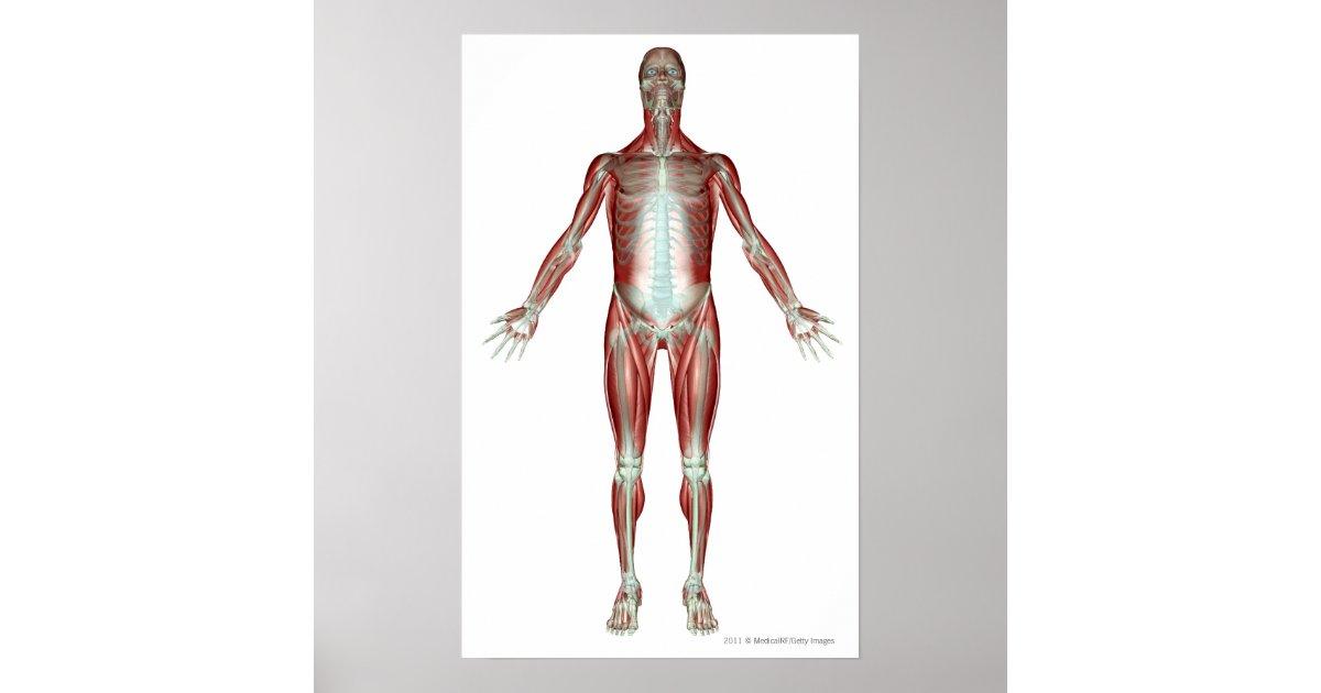 disposition de tous les muscles au corps humain affiches. Black Bedroom Furniture Sets. Home Design Ideas