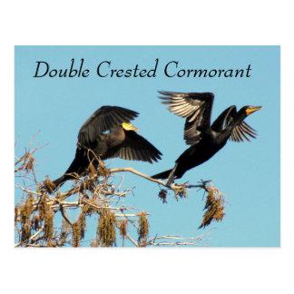 Double Cormorant crêté - étude de la carte postale