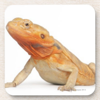 Dragon barbu scaleless de SilkBacks - Pogona Sous-bock