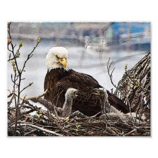Eagle chauve adulte avec des aiglons impression photo