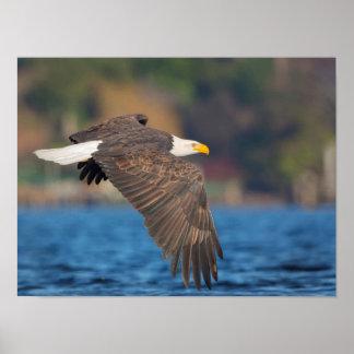 Eagle chauve adulte vole bas au-dessus de l'eau affiche