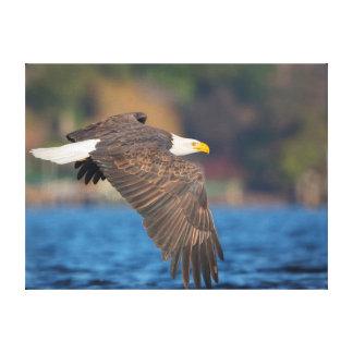 Eagle chauve adulte vole bas au-dessus de l'eau toiles