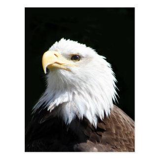 Eagle chauve américain carte postale