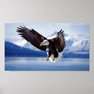 EAGLE CHAUVE EN ALASKA POSTER