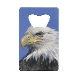 Eagle chauve, (leucocephalus de Haliaeetus),