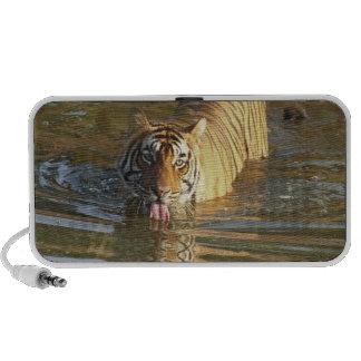 Eau potable royale de tigre de Bengale, Ranthambho Haut-parleur