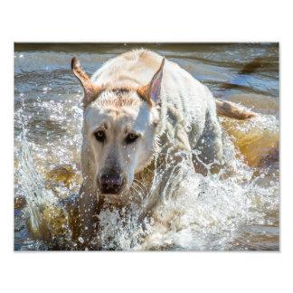 Éclaboussement jaune actif de Labrador : Photographies D'art