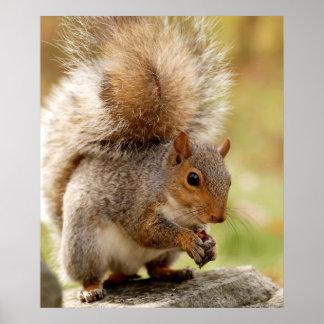 Écureuil pelucheux mignon posters