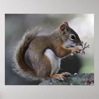 Écureuil rouge américain poster