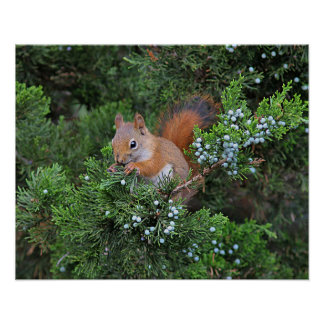 Écureuil rouge poster