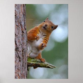 Écureuil rouge sauvage dans la photo écossaise de poster
