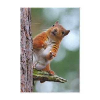 Écureuil rouge sauvage dans la photo écossaise de toile