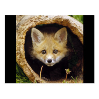Effrayé peu de Fox Cartes Postales