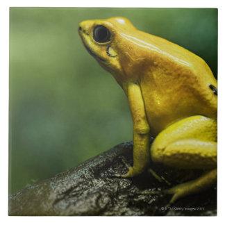 également connu en tant que grenouille d'or de grand carreau carré