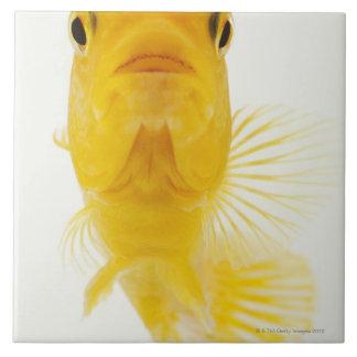 Également connu en tant que poisson rouge grand carreau carré