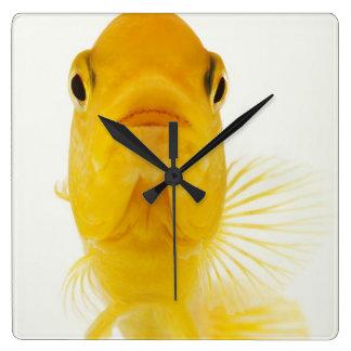 Également connu en tant que poisson rouge horloge carrée