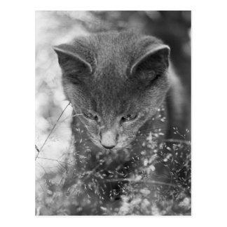 Égrappage gris de chat carte postale