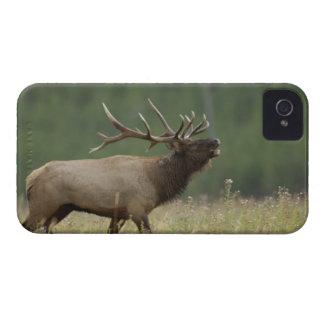 Élans de Taureau bugling, Yellowstone NP, Wyoming Coque iPhone 4