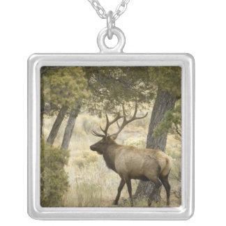 Élans de Taureau, parc national de Yellowstone, Collier