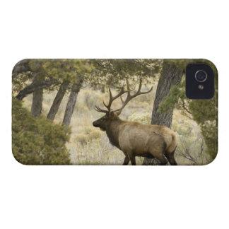 Élans de Taureau, parc national de Yellowstone, Coques iPhone 4