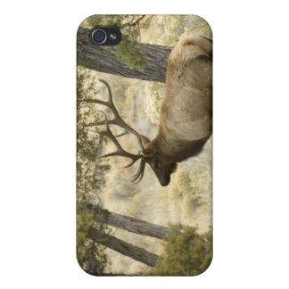 Élans de Taureau, parc national de Yellowstone, Wy Étuis iPhone 4