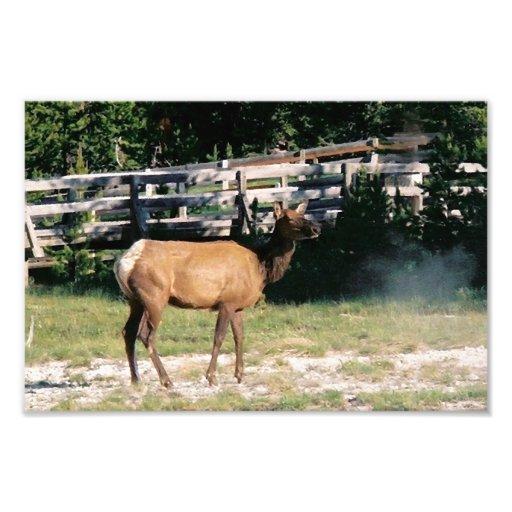 Élans femelles dans Yellowstone Photographies