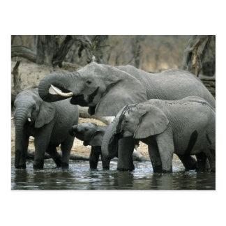 Éléphant africain, (africana de Loxodonta), buvant Cartes Postales