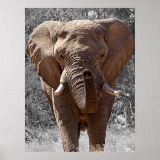 Éléphant africain de buisson poster