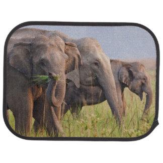 Éléphants asiatiques indiens montrant l'herbe tapis de sol