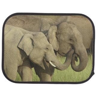 Éléphants indiens/asiatiques partageant a tapis de sol