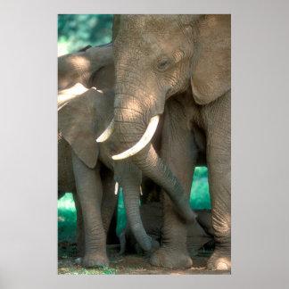 Éléphants protégeant des jeunes poster