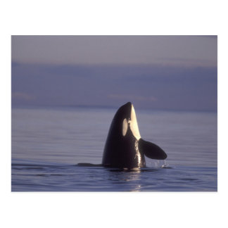 Épaulard d'orque de Spyhopping (orcinus d'orque) Carte Postale