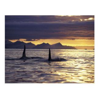 Épaulards d'orque ou carte postale