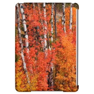Érable rouge (Acer Rubra) et trembles