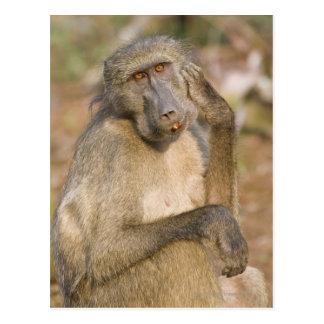 Éraflure de babouin de Chacma (ursinus de Papio) Cartes Postales