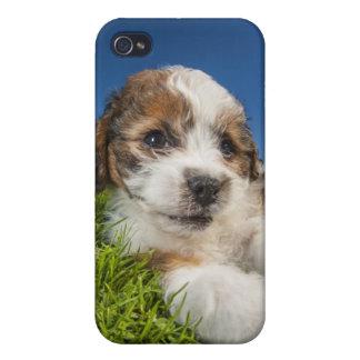 Étui iPhone 4/4S Chiot mignon (Shitzu)