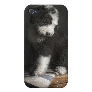 Étui iPhone 4 Portrait de chiot de queue écourtée dans le studio