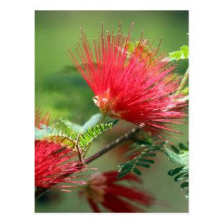 Explosion rouge de fleur cartes postales